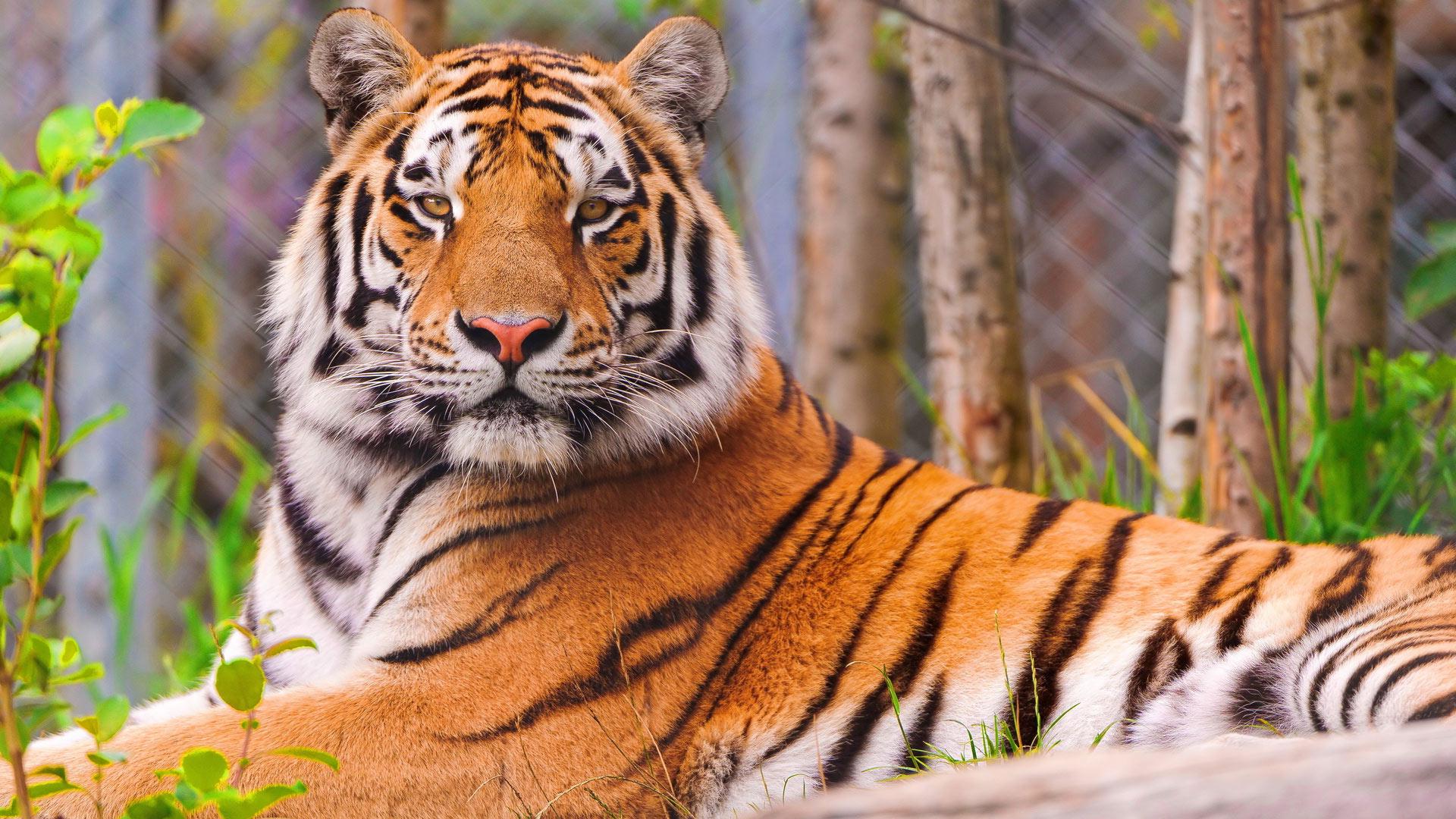 Фото тигра обои на рабочий стол