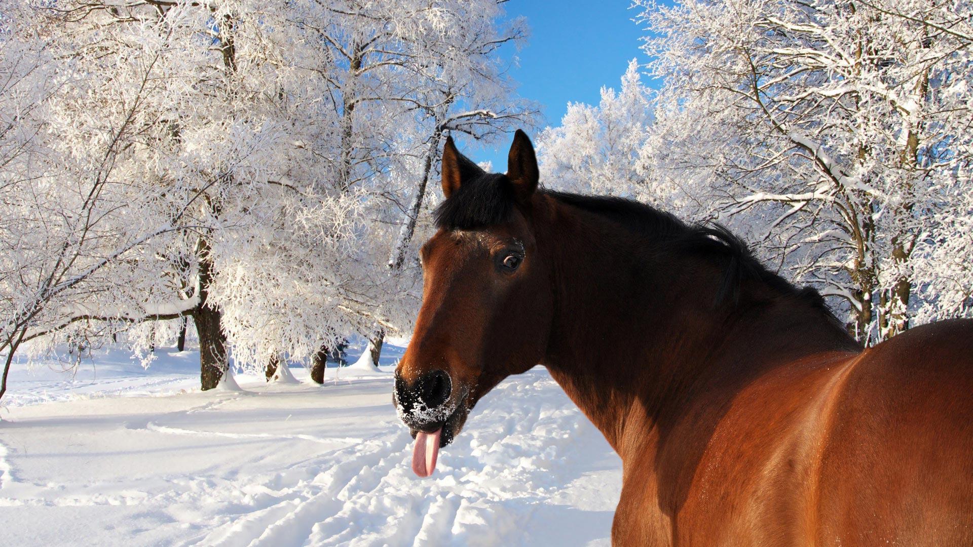 Картинки на робочий стол лошадь с зимой