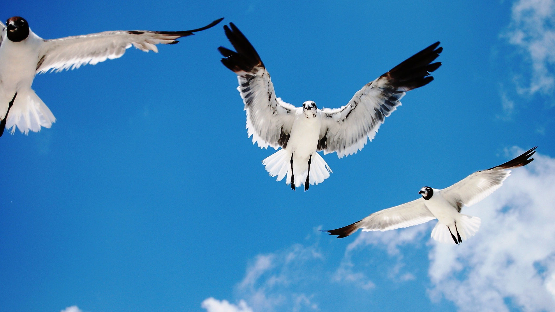 Обои три птицы три белые птицы