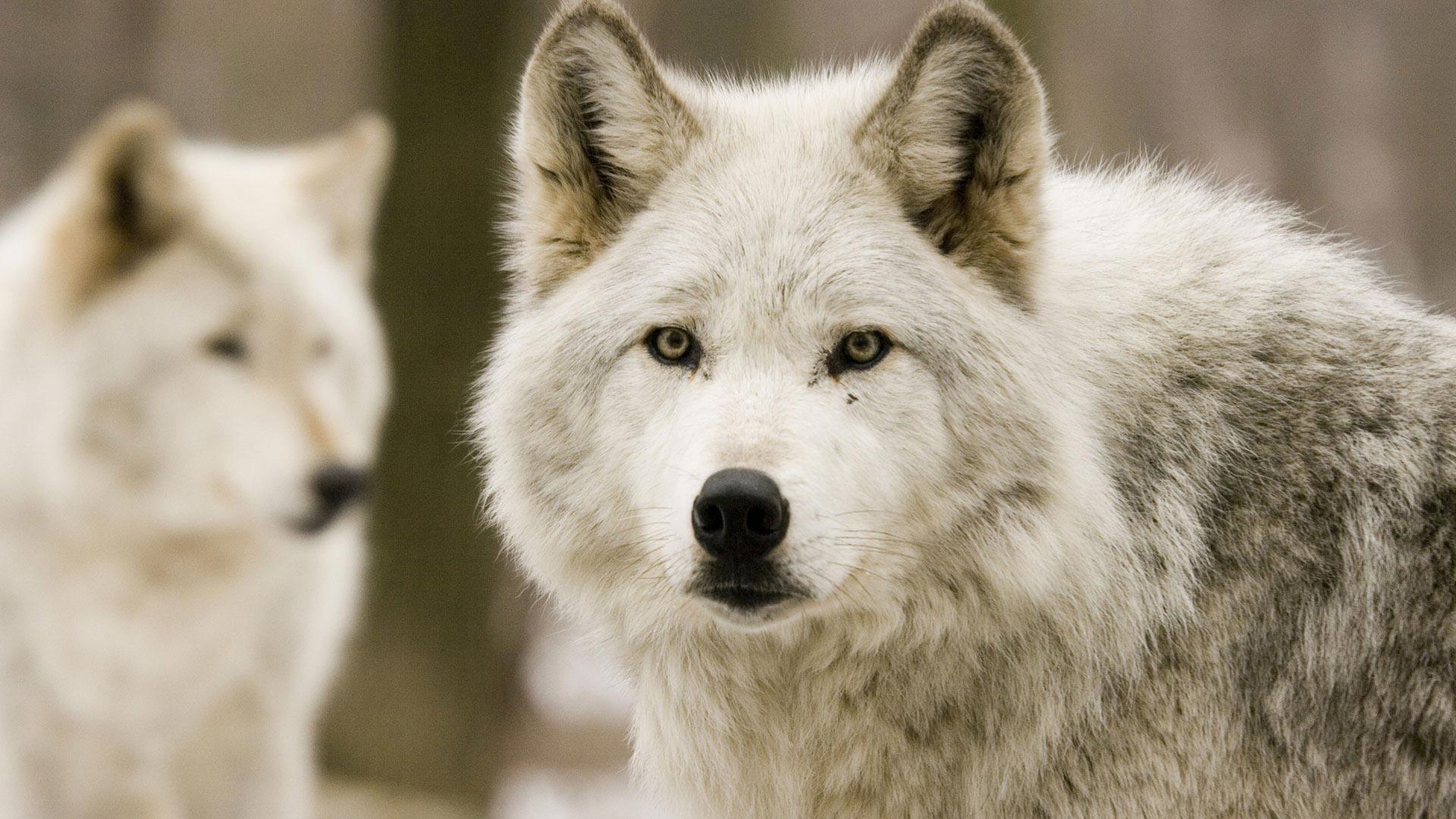 Обои белоснежный хаски красивый пес