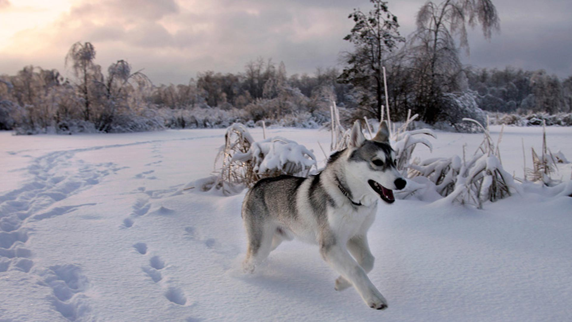 Обои Снежный Хаски, картинки - Обои для ...: www.fullhdoboi.ru/photo/dogs/snezhnyj_khaski/30-0-22135