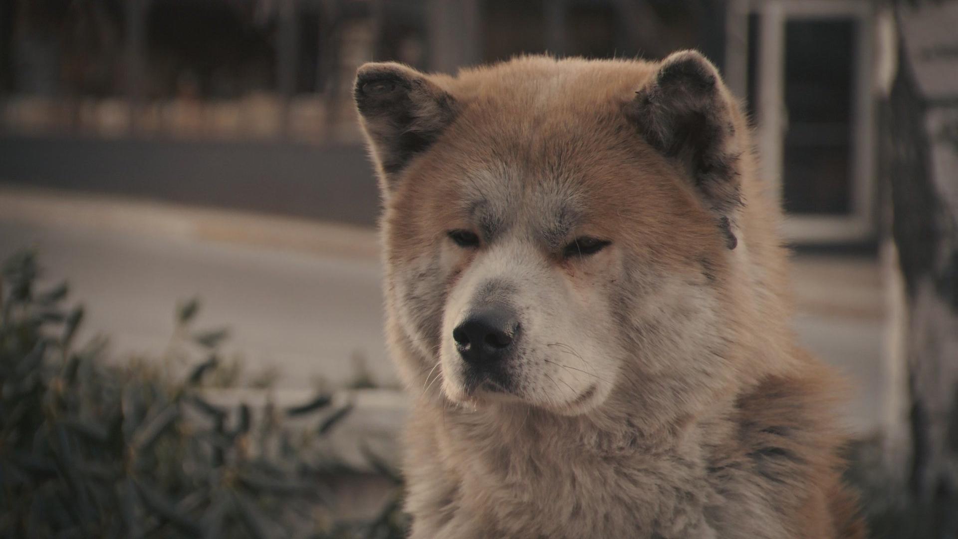 Хатико порода собаки  акитаину фото собаки цена