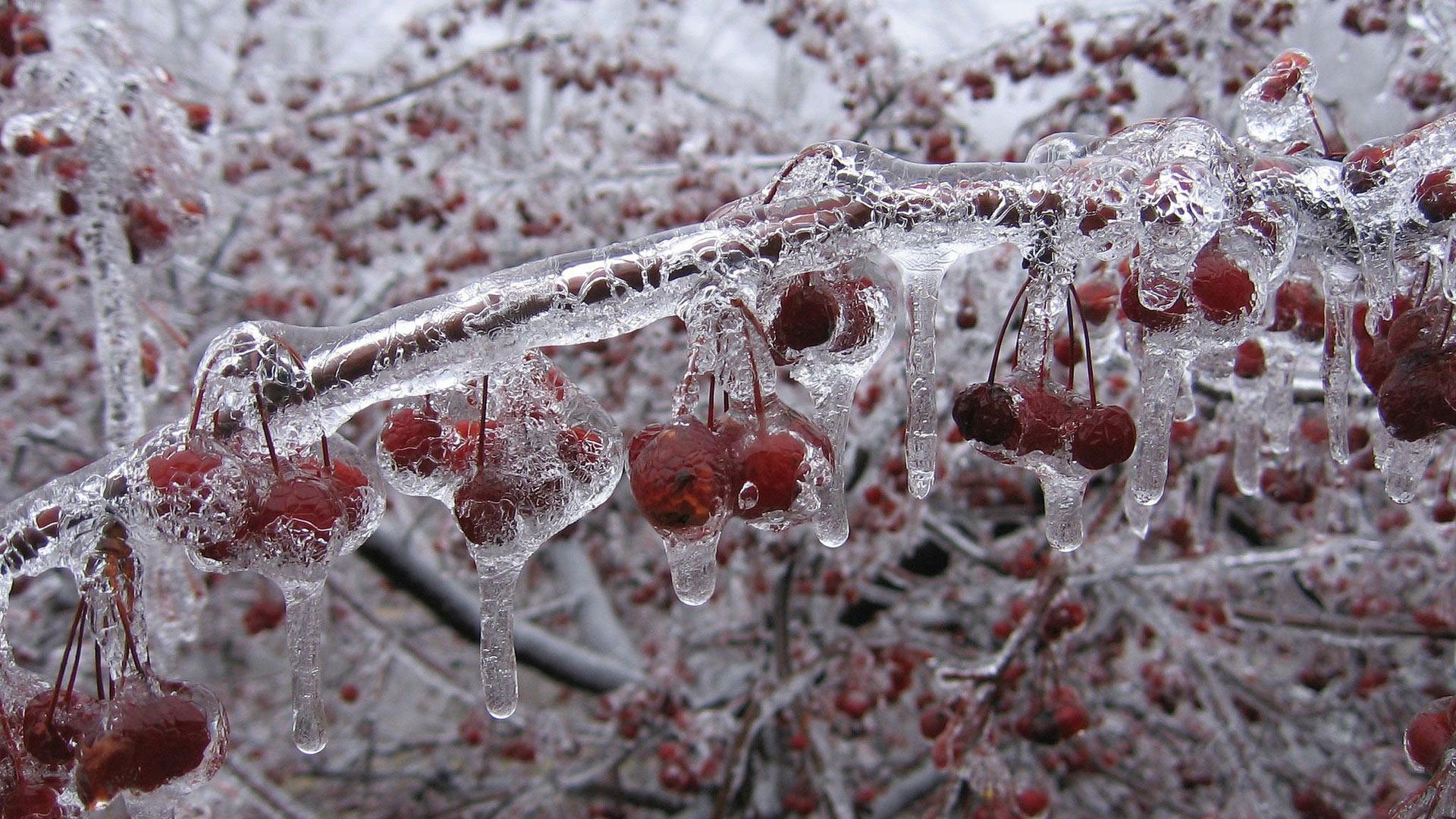 Обои зимняя вишня вишня во льду зимой