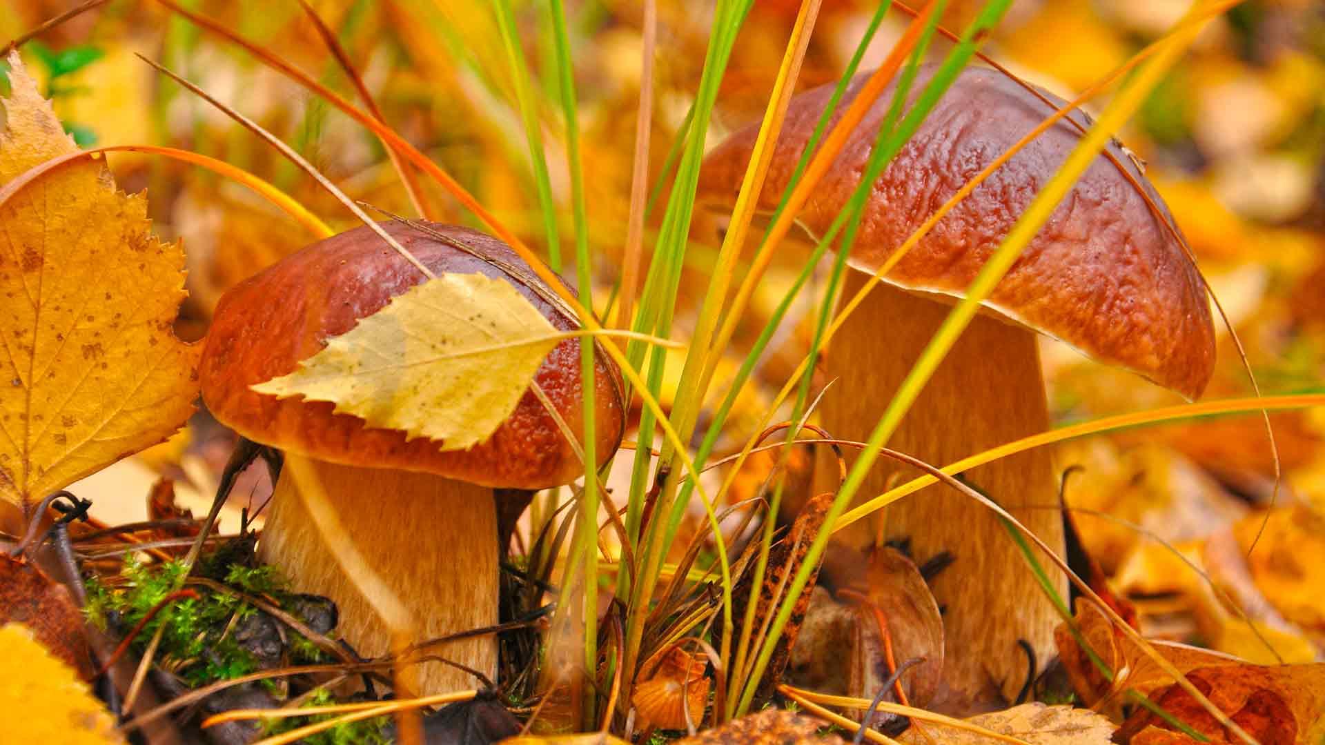 Картинки на рабочий стол грибы осень.