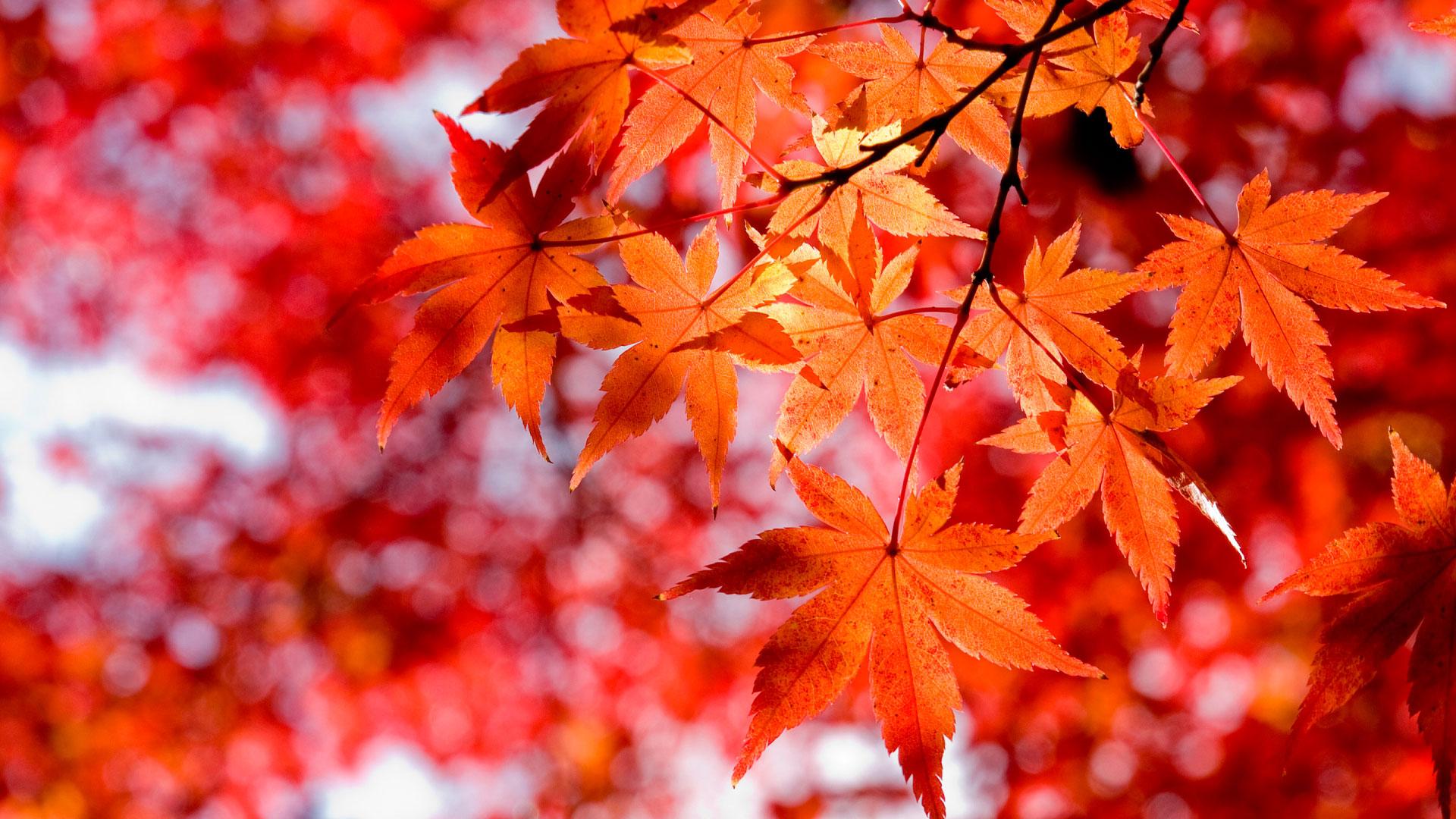 обои на рабочий стол кленовые листья осенью 14815