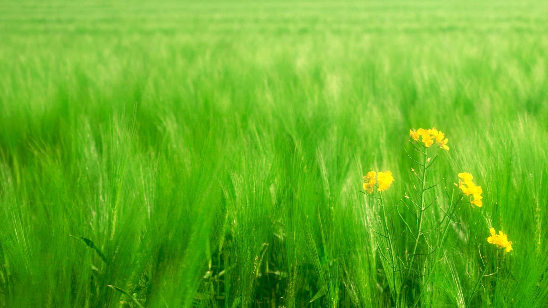 Обои трава и пшеница зеленая трава и